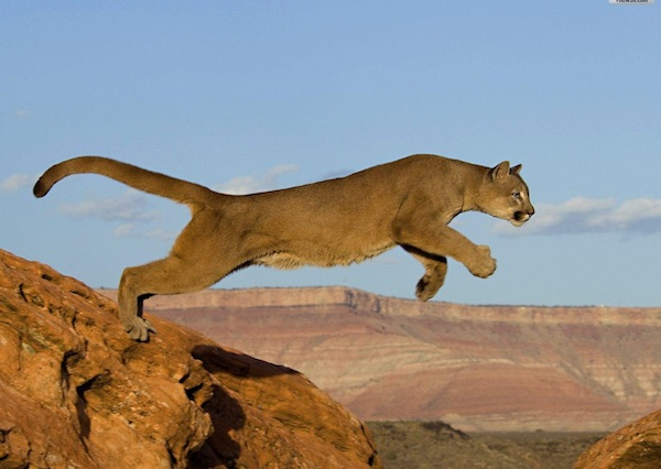 Mountain Lion With Southwestern Landscape